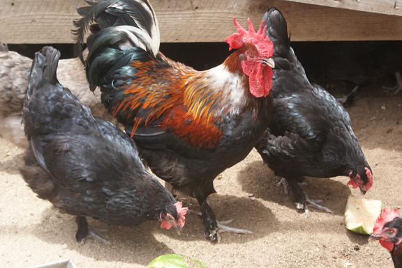 Black Copper rooster and hens